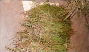 Rooibos--Freshly-Picked---courtesy-Numi