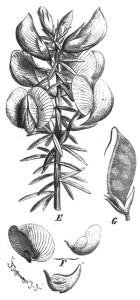 Cyclopia genistoides