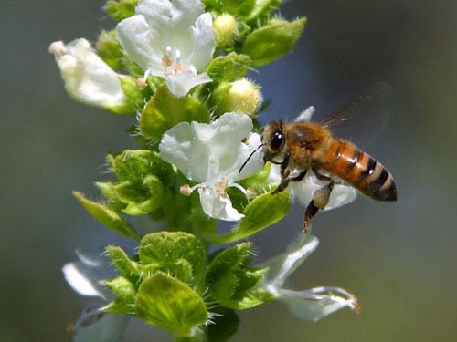 bee pollinating basil