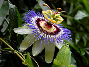 Passionflower by Adhoc Alley