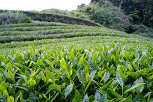 Japanese Tea Plantation