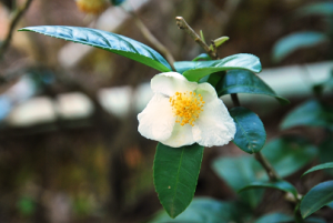 Doi_Tung_tea_flower