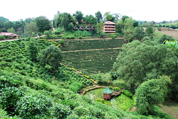 Doi_Wawee_tea_garden