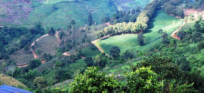 Thailand tea garden