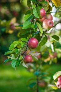 Apples on the tree!
