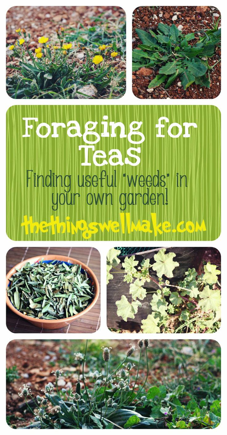 Forage for tea in your own yard 2