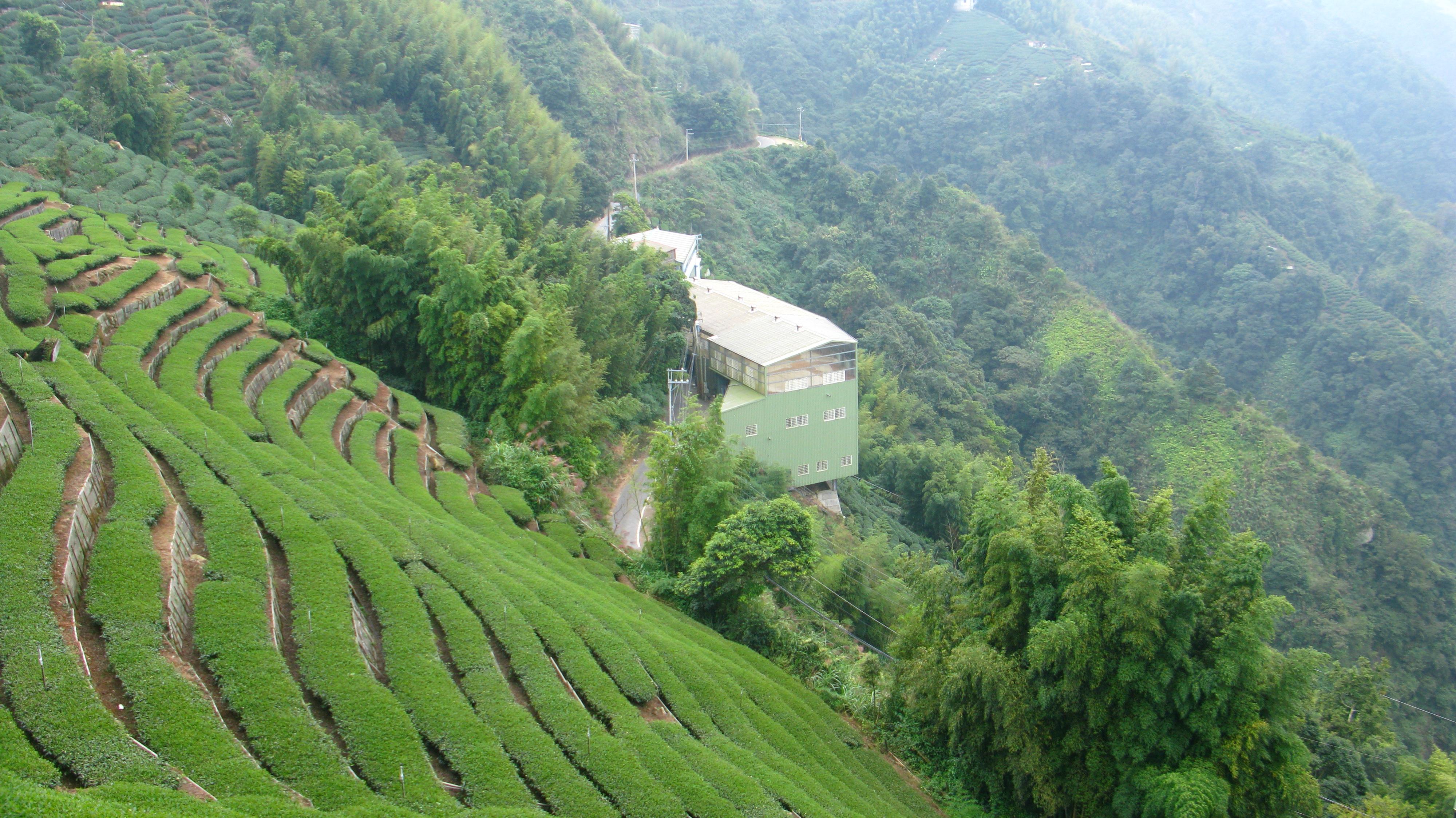 Curating Oolong Tea 6