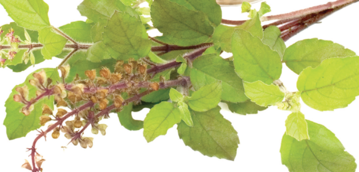 Tulsi: Exploring the Queen of Herbs